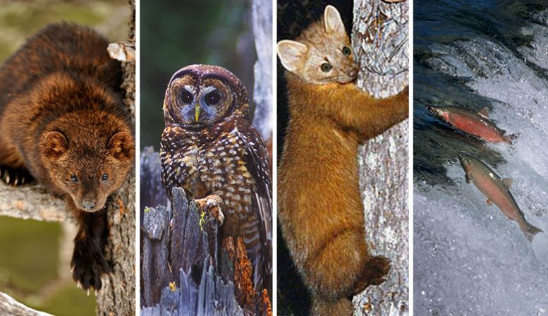 Endangered animals in Humboldt include the Pacific fisher, the northern spotted owl, the Humboldt marten, and the coho salmon. (Photos: Don Johnston/Getty Images; Jared Hobbs/Getty Images; Flickr; Helge Schulz/Getty Images)