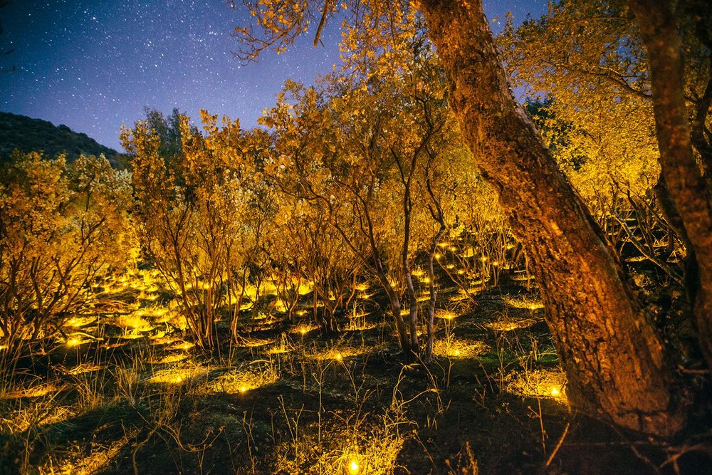 All that glitters is not gold. In California, marijuana grows account for a multibillion-dollar industry. The grows are sophisticated and covert operations. Rather than clear an area, many drug cartels will instead plant marijuana in the understory, a layer of vegetation beneath the forest's main canopy. This particular grow on national forest land in the High Sierra was busted and reclaimed. Only the divots of where plants used to be remain. While the remnants of this former crop look neat and tidy, marijuana grown on public land is quickly poisoning the environment, wildlife and water. This plot in this one grow was the site for more than 1,200 plants. Some grows total as many as 40,000.  PHOTOGRAPH BY MORGAN HEIM