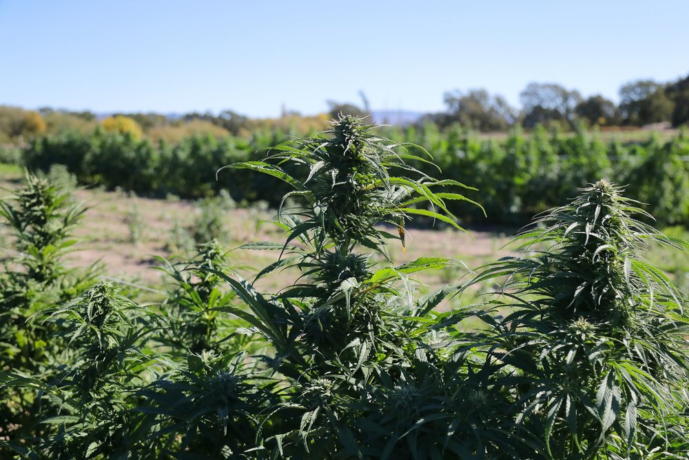 Cannabis buds on plants at New Family Farm in Sebastopol, Calif. Credit Jim Wilson/The New York Times