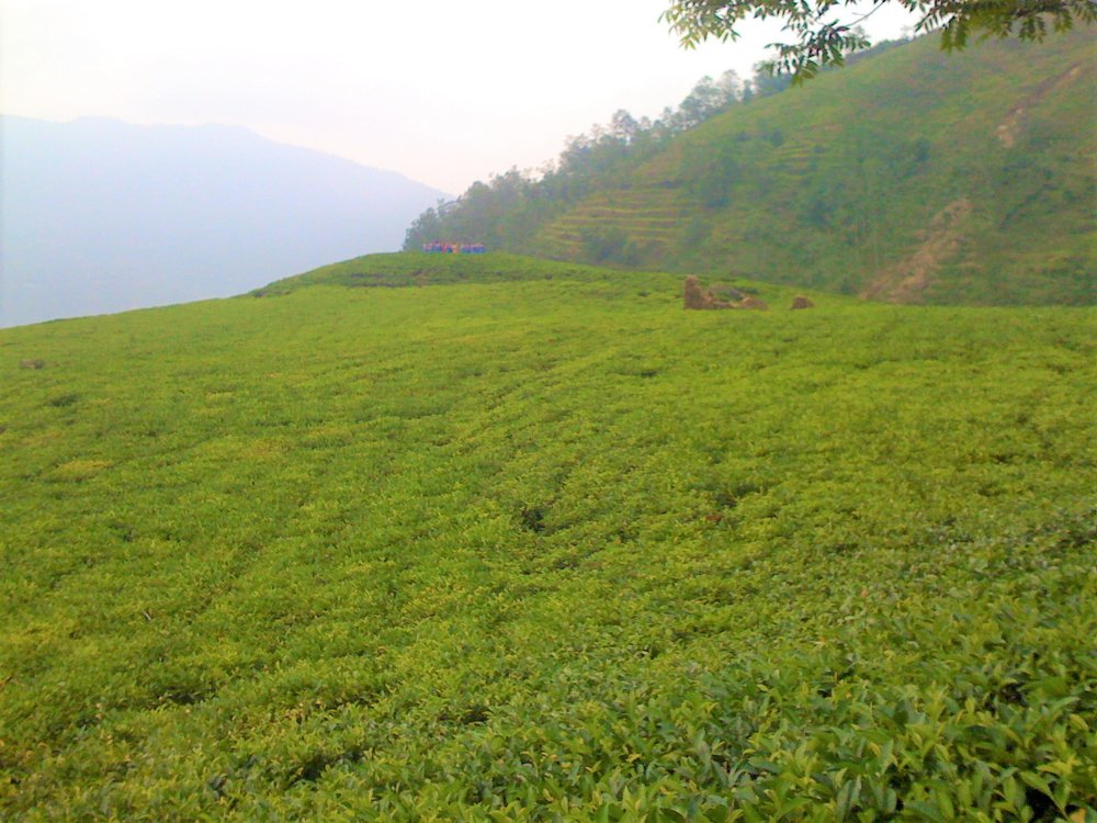 Micro-climates found in the foothills of the Himalayan Mountains are ideal for growing Camellia sinensis. The early morning mists that waft upwards from the glacier river valleys below, only to disappear throughout the day from the intense mountain sunshine, help feed and bring these gorgeous tea gardens to life!