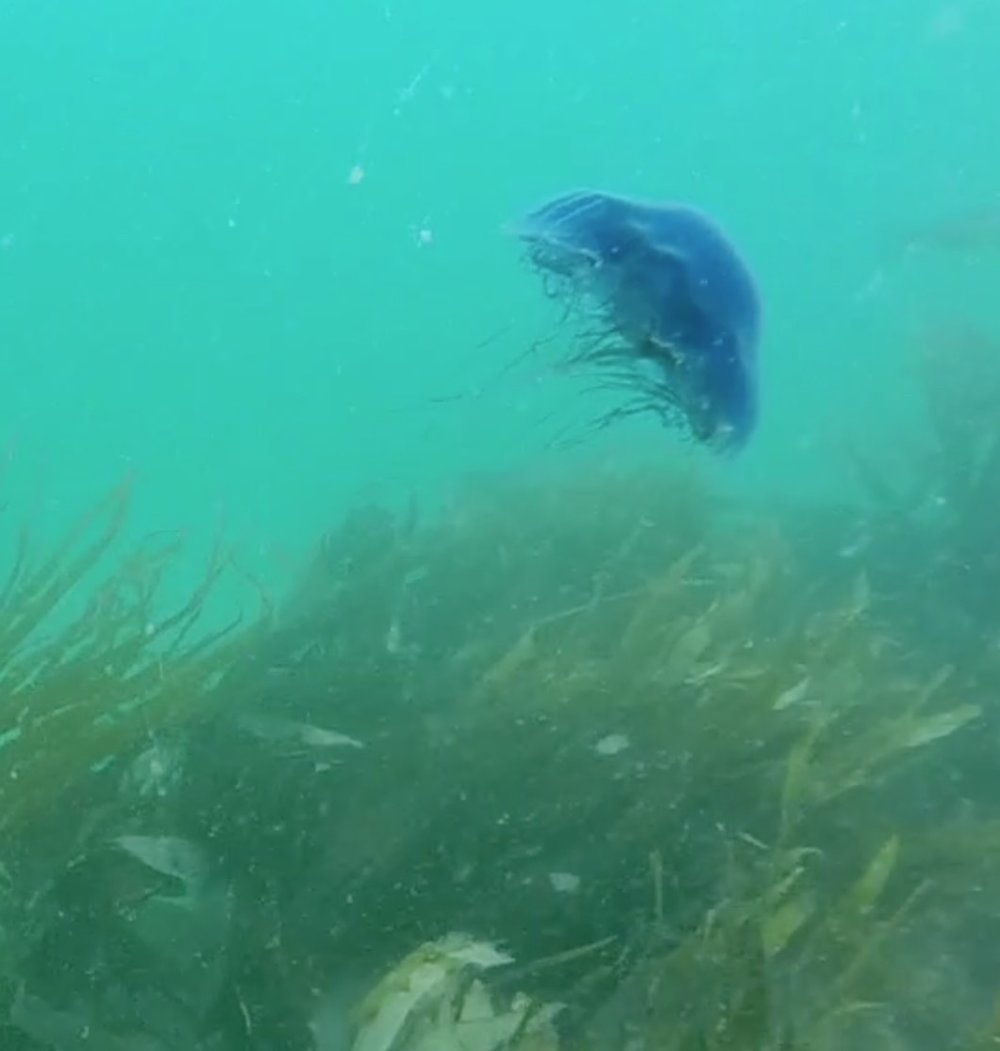 Blue Lion's Mane jellyfish in Newquay waters!
