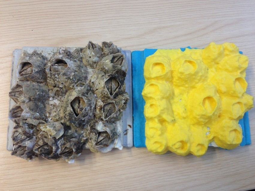 An example of living barnacles and their 3D printed replica used in my MRes project.
