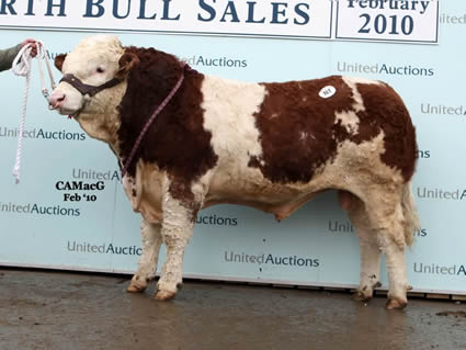 Auchorachan Winger, sold to the Team Herd at 10,000 gns