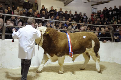 Champion bull, Drumbulcan Waterfall in the sale ring