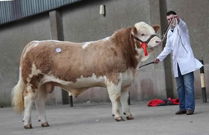 First prize winning Breaghey Charles sold at 4,200gns for Andrew Clarke, Tynan. Picture: Julie Hazelton