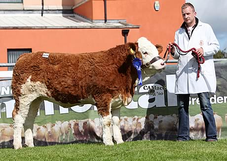 Jonny Hazelton, Dungannon, exhibited Ranfurly Lady Diana 13th which sold for 5,100gns at the 40th Anniversary Elite Female Show and Sale, Omagh. Ranfurly Lady Diana 13th