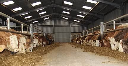 Cattle being wintered at Sperrin View Farm