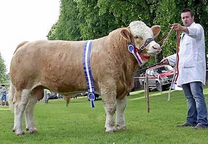 The male and reserve supreme Simmental champion was Slievenagh Bonjovi, owned by Duncan McDowell, Newtownards, and shown by Christopher Boyd