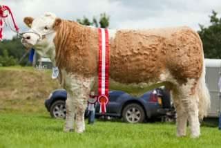 The female and supreme overall Simmental champion was Lisglass Clover 2nd, bred by Leslie and Christopher Weatherup, Ballyclare