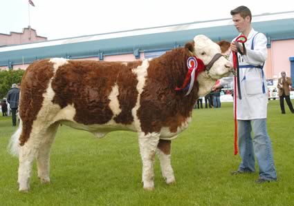 The female and supreme overall Simmental champion was Clonguish Bambi shown by Paul McDonald, Tempo