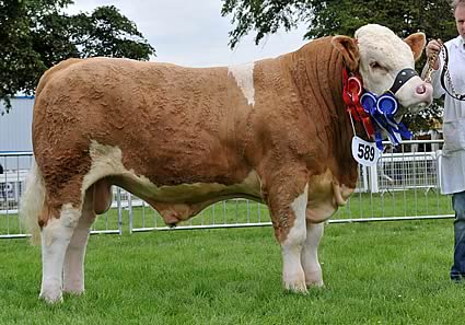 Junior Male Champion & Reserve Overall Junior Champion Overhill House Bandit exhibited by Mr R McCulloch