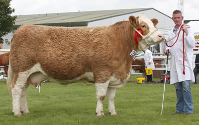 Alister Shortt exhibited the first prize winning Simmental cow, Killynure Rochelle, owned by Raymond and Joan Porter, Mountjoy, Omagh