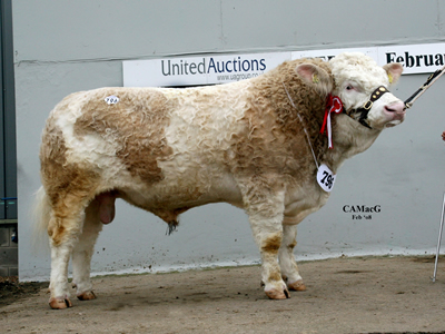Reserve Supreme Champion and Top Price Bull for 22,000gns Dirnanean Typhoon. Bred & Exhibited by Mr F J A McGowan and purchased by Mr & Mrs D Field, Burytown Herd.