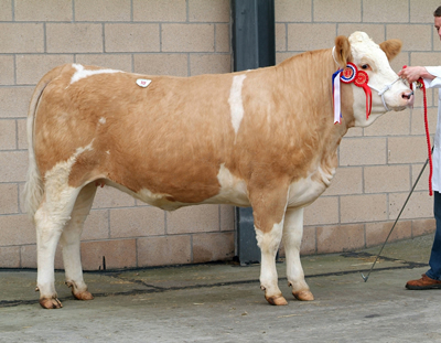 Lot 108 - Female Champion Midhope Tamsin bred by W J Hollingsworth and purchased for 2,100gns by B L Burton, Lincolnshire. Sire: Pasturehouse Paleface Dam: Midhope Kai