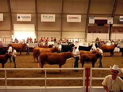 Cattle on Show at the Canadian World Congress