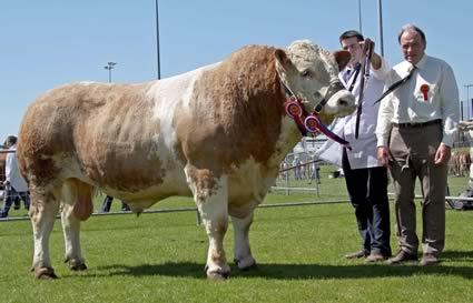 Simmental champion at Ballymena Show was Hockenhull Ali Baba, owned by Bruces Hill Cattle Company, Templepatrick, and shown by Richard McKeown. Adding his congratulations is judge Kenneth Stubbs, Irvinestown.