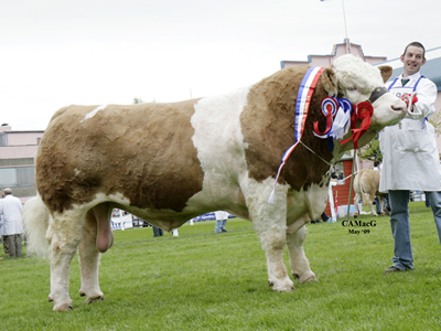 Supreme and Male Champion, Banwy T-Rex, owned by Clonagh Herds, Co. Laois.