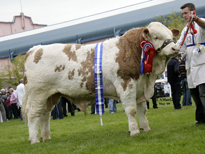 Slievenagh Wyatt, Reserve Supreme, Reserve Male and Junior Champion owned by R. J. Boyd, Portglenone.