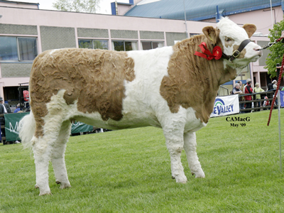 Ranfurly Weikel 3rd, Female Champion and Reserve Junior Champion, owned by W. D. Hazelton, Dungannon.