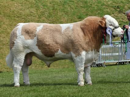 Sterling Viking 2nd Supreme and Male Champion