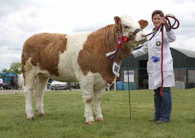 The female and supreme Simmental champion at Ballymoney Show was Ranfurly Weikel 3rd owned by David Hazelton, Dungannon, and shown by daughter, Julie.