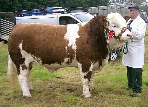 Hirwaun Rooney Supreme Simmental & Interbreed Champion
