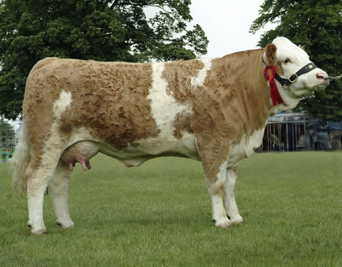 Orlando Gabrielle 4th - 1st in Class Female in milk or in calf born in 2003