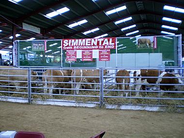Simmental stand L-R Delfur Cow, Corskie Heifers, Berryleys Heifers