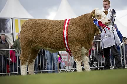 Female and supreme overall Simmental champion was Sliveroe Caroline shown by Christopher Weatherup, Ballyclare.