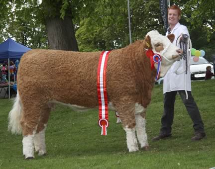 Simmental champion at Lurgan Show was Silveroe Caroline exhibited by Christopher Weatherup, Ballyclare.