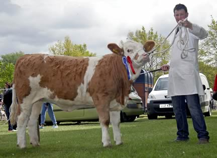 Ballymoney Dora owned by Noel Kilpatrick, Banbridge, and shown by Alan Shortt, was the runner-up in the Woodcraft Kitchens (Kilrea) junior Simmental heifer derby.