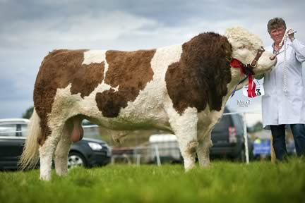 Reserve male Simmental champion was Ballyvallough Captain owned by Andy Weatherup, Larne, and shown by Rosemary Hoy.