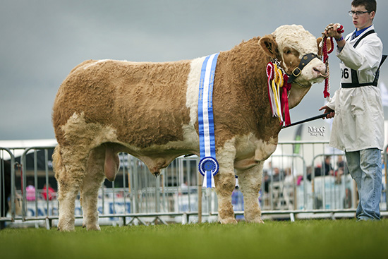 Reserve supreme, reserve male and exhibitor-bred champion was the junior bull Slievenagh Emperor from the Boyd Family, Portglenone.