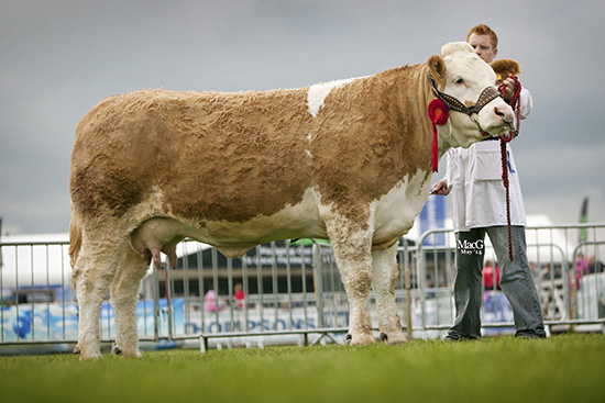 The junior cow class was won by Lisglass Clover from Leslie and Christopher Weatherup, Ballyclare.