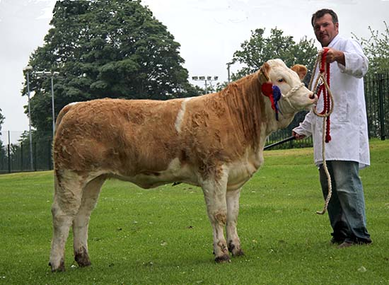 Runner-up in the junior Simmental heifer derby was Ballinlare Farm Esmeralda shown by Alan Wilson, Newry.