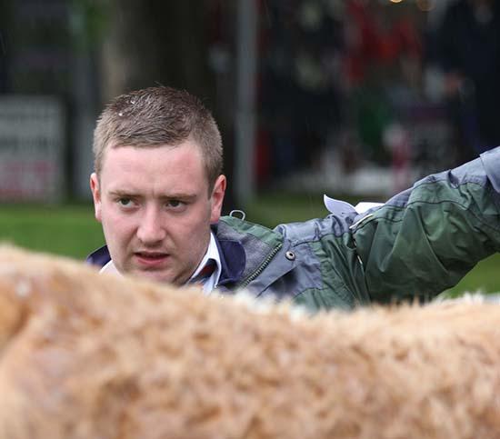 Handler Marcus Berry representing the Kilpatrick's Ballymoney herd.