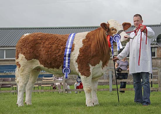 Reserve female and reserve supreme Simmental champion was Ranfurly Weikel 11th shown by Jonny Hazelton, Dungannon.