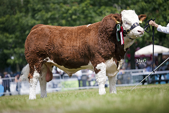 WILLIAMS EDDIE 13Reserve Male & Junior Male Champion and  Bull, born on or after 01.01.13 and on or before 31.03.13 At the Royal Welsh Show