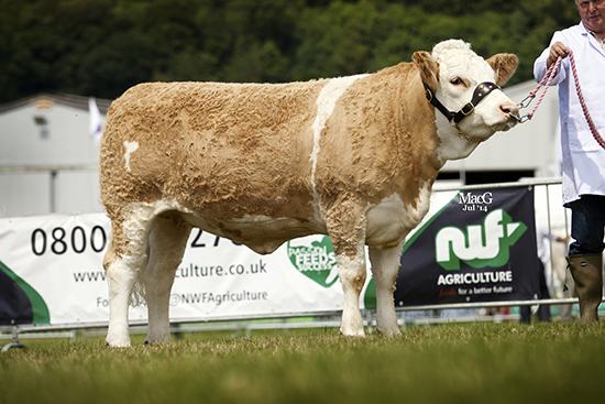 STORERSMITH DAYDREAMHeifer, born on or after 01.09.12 and on or before 31.12.12, At the Royal Welsh Show
