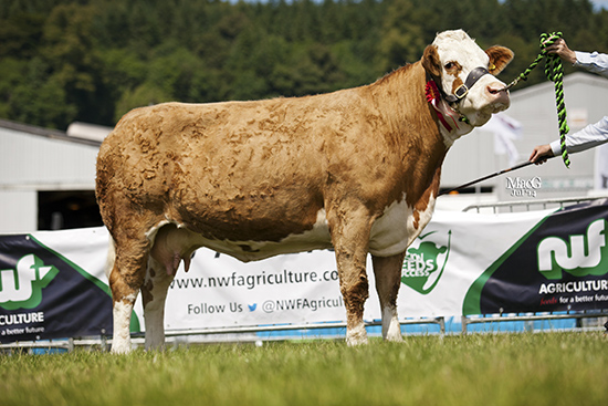 CELTIC POSH SPICECow, in-calf or with calf at foot, born on or before 31.12.09 and Best Cow, bred and exhibited by a club member who is resident in Wales,  At the Royal Welsh Show