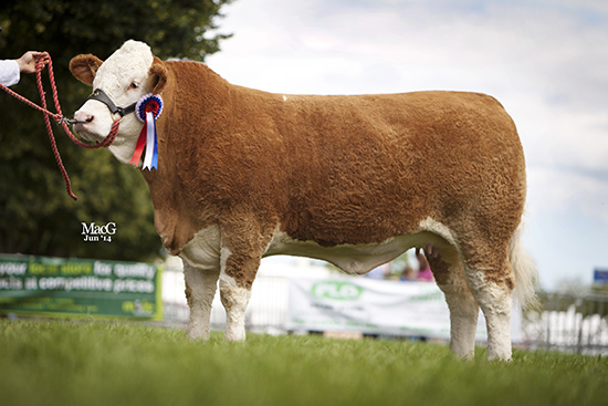 Heathbrow DuchessSupreme Overall Champion, Female Champion and  Senior Heifer Champion, 1st place heifer, born on or between 04.04.12 and 31.07.12 at the English National Show, Royal Norfolk