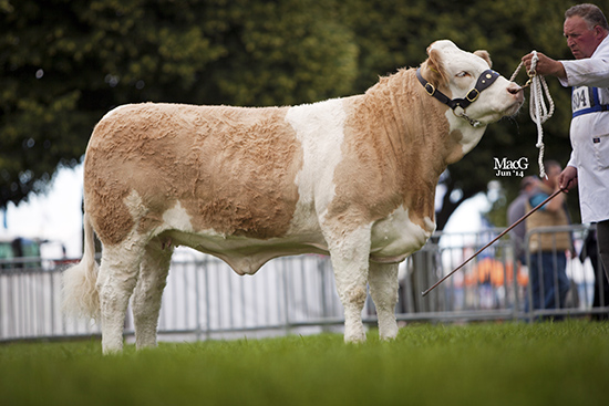 Williams Simone's Eleanor1st place heifer, born on or after 01.04.13 at the English National Show, Royal Norfolk