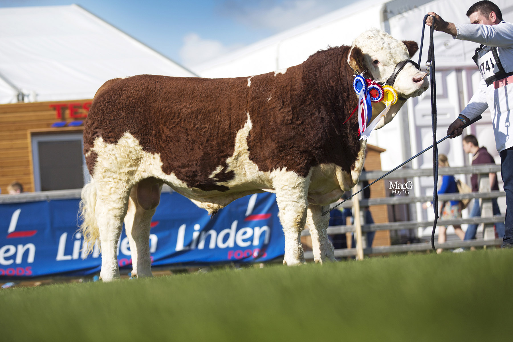 Junior and reserve male champion was Kilmore Franko bred by first-time Balmoral exhibitor Chris Traynor, Armagh. Picture: MacGregor Photography