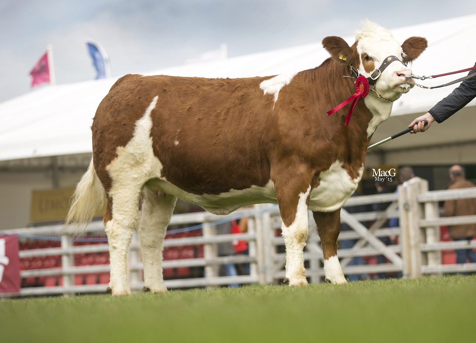 Andrea and Keith Nelson, Rosslea, led the senior heifer class with Scribby Farms Exquisiter. Picture: MacGregor Photography