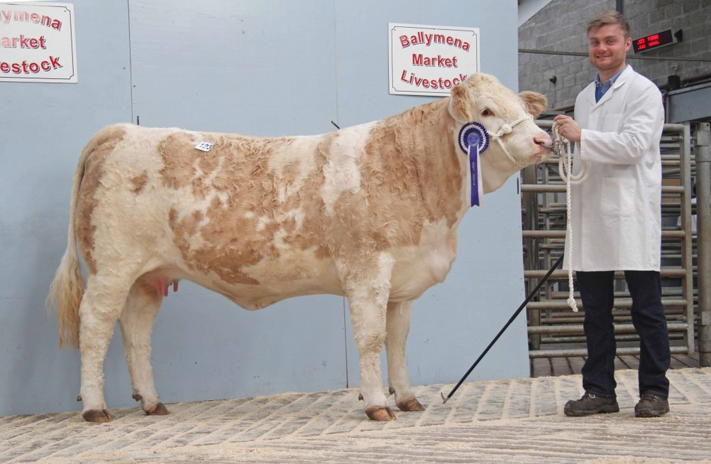 Reserve female champion was the 2,900gns Kilbride Farm Fanni 34E shown by Matthew Robson, Doagh. Picture: Julie Hazelton