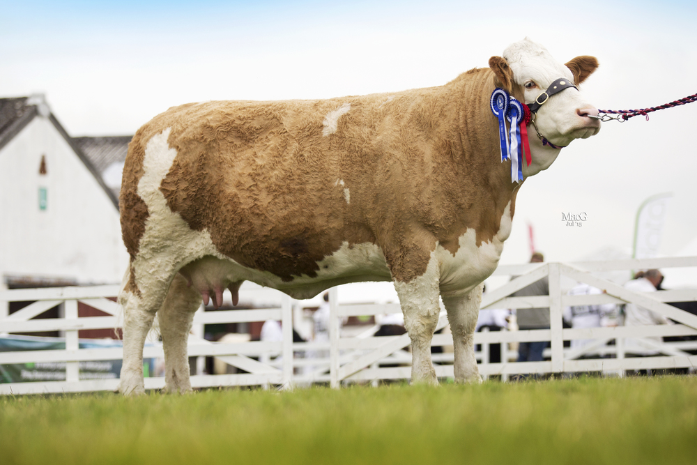 Midhope Bright Light - Reserve Supreme Champion & Reserve Female Champion