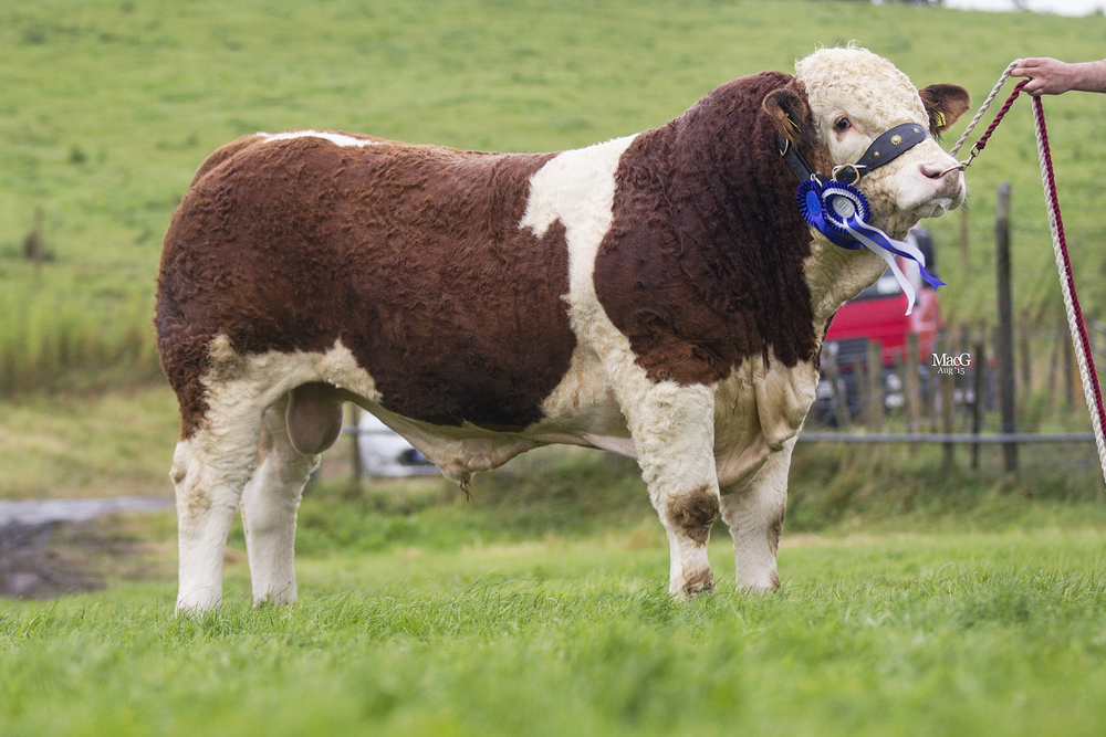 Kilmore Fitz bred by Chris Traynor, Armagh, was the reserve supreme Simmental champion and winner of the DANI Rosebowl for the highest placed weight recorded bull at Fermanagh County Show.