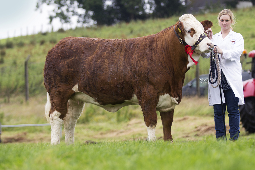 Andrea Nelson's Scribby Farms Elegant was reserve female Simmental champion at Fermanagh County Show