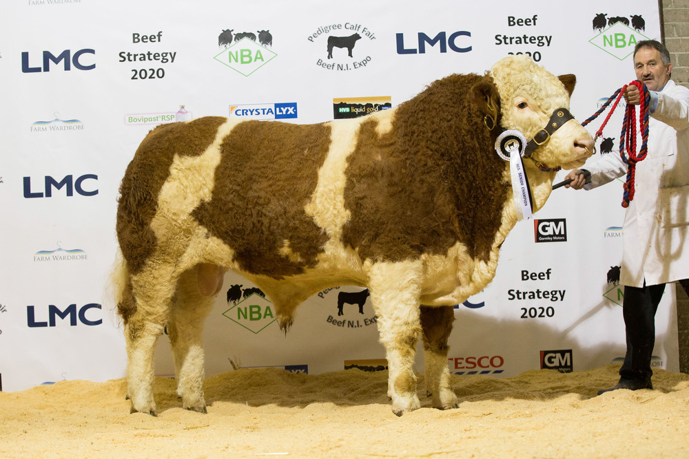 Kenneth Veitch exhibited the reserve senior Simmental champion Drumlone Fabulous.