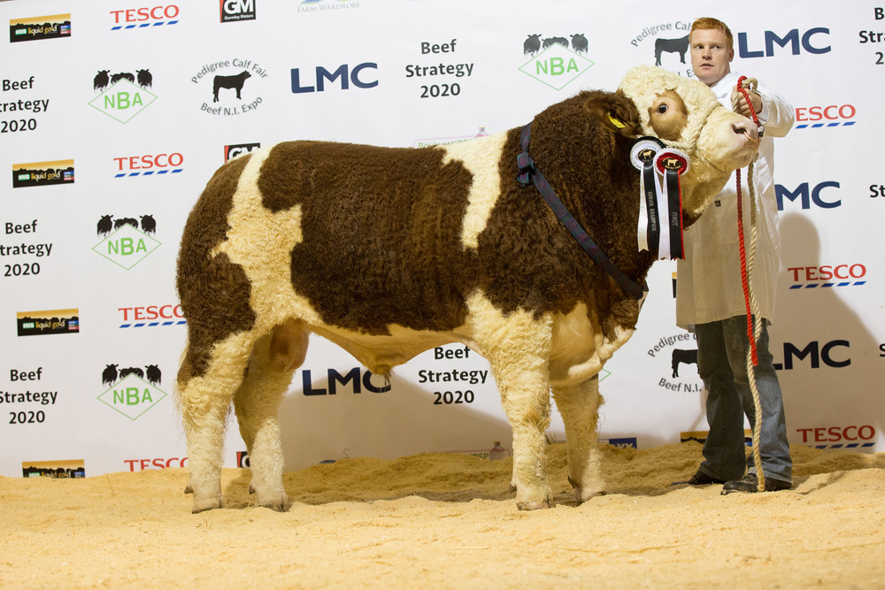 Simmental senior champion was Lisglass Fortune shown by Christopher Weatherup.